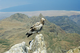 Egyptian Vulture Photographic Print by Diccon Alexander