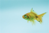 Telescopic Eyed Goldfish Prints by David Aubrey