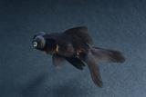 Black Moor Ornamental Fish Papier Photo par David Aubrey