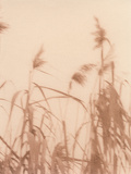 Grasses Photographic Print by  Cristina