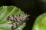 A Scorpion Fly Prints by Paul Harcourt Davies