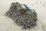 Goose Barnacles on Flotsam Photographic Print by Peter Chadwick