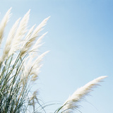 Pampas Grass Photographic Print by  Cristina