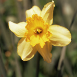 Daffodil (Narcissus Sp.) Photographic Print by  Cristina