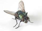 Greenbottle Fly Poster by Dr. Jeremy Burgess