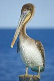Brown Pelican Photographic Print by Clay Coleman