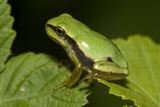 A Tree Frog Photographic Print by Paul Harcourt Davies