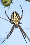 Orb-weaver Spider on Its Web Photographic Print by Paul Harcourt Davies