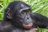 Bonobo Ape Photographic Print by Tony Camacho