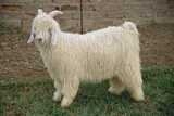 Angora Goat Photographic Print by Peter Chadwick