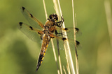 Four-spotted Chaser Dragonfly Photographic Print by Adrian Bicker