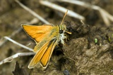 Small Skipper Butterfly Photographic Print by Paul Harcourt Davies