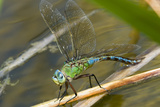 Female Emperor Dragonfly Prints by Adrian Bicker