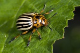 Colorado Beetle Photographic Print by Paul Harcourt Davies