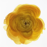 Ranunculus Flower (Ranunculus Sp.) Photographic Print by  Cristina