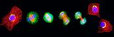 Cell Mitosis Reproduction photographique par Thomas Deerinck