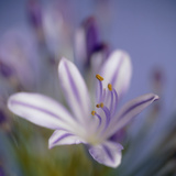Agapanthus 'Donau' Photographic Print by  Cristina