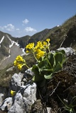 Bear's Ear Primrose (Primula Auricula) Photographic Print by Paul Harcourt Davies