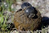 Flightless Dung Beetle with Dung Ball Photographic Print by Peter Chadwick