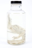 Preserved Alligator In a Jar Photographic Print by Gregory Davies