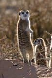 Meerkat Photographic Print by Tony Camacho