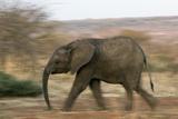 African Elephant Fotografisk tryk af Tony Camacho