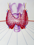 Illustration Showing the Thyroid Gland Prints by John Bavosi