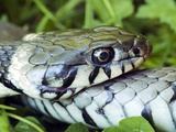 Grass Snake Posters by Dr. Jeremy Burgess