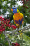 Rainbow Lorikeet Poster by Tony Camacho