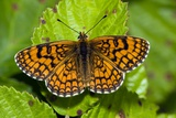 Knapweed Fritillary Butterfly Photographic Print by Paul Harcourt Davies