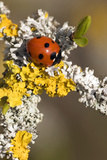 Seven-spot Ladybird on Lichen Photo by Adrian Bicker