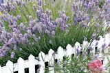 Lavender And Picket Fence Photographic Print by Tony Craddock