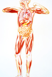 Artwork Showing Anatomy of a Standing Human Body Photographic Print by John Bavosi