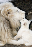 Male White Lion And Cub Fotografisk tryk af Tony Camacho