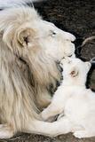 Male White Lion And Cub Lámina fotográfica por Tony Camacho