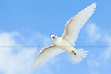 White Tern Photographic Print by Peter Chadwick