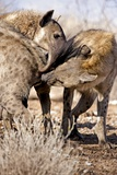 Spotted Hyena Greeting Ritual Photographic Print by Tony Camacho