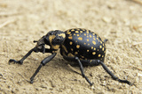 Weevil Photographic Print by Peter Chadwick
