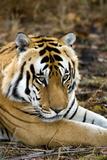 Royal Bengal Tiger Posters by Tony Camacho