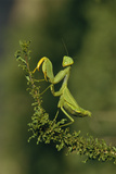 Praying Mantis Photographic Print by Peter Chadwick