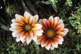 Gazania (Gazania Splendens) Photographic Print by Peter Chadwick