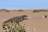 Namaqua Chameleon Catching Prey Photo by Tony Camacho
