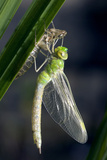 Emperor Dragonfly Posters by Adrian Bicker