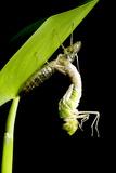 Emperor Dragonfly Metamorphosis Prints by Adrian Bicker