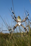 Wasp Spider Photographic Print by Paul Harcourt Davies