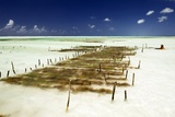 Kelp Farming, Zanzibar Photographic Print by Tony Camacho