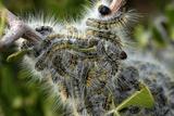 Caterpillars Feeding Photographic Print by Peter Chadwick