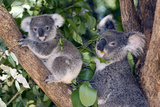 Mother Koala And Young Photographic Print by Tony Camacho