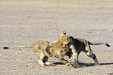 African Lion Juveniles Play-fighting Photographic Print by Tony Camacho