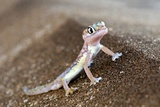Web-footed Gecko Prints by Tony Camacho